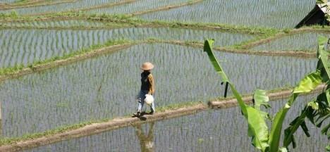 rice2_468x216