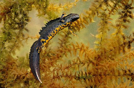 Stor salamander (Triturus cristatus)