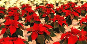 (arkivfoto) Økologiske julestjerner 2010 - Sogn Jord- og Hagebruksskule Foto: Sogn Jord- og Hagebruksskule