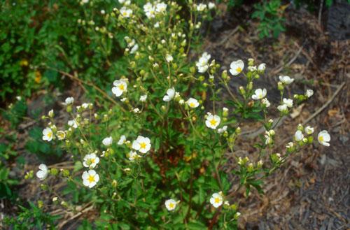 Hvitmure (Drymocallis rupestris ((Potentilla rupestris))