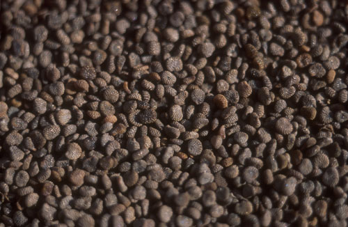 Bulmeurt (Hyoscyamus niger)