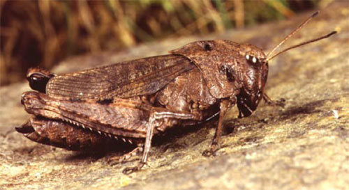 Klapregresshoppe (Psophus stridulus)