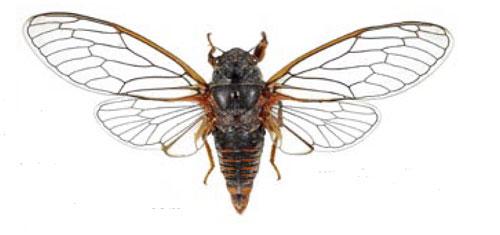 Sangsikade (Cicadetta montana)