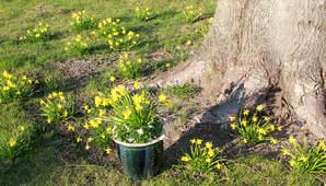 påskeliljer