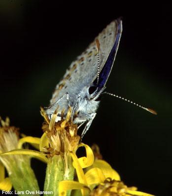 Lakrismjeltblåvinge (Plebejus argyrognomon).
