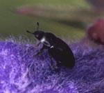 Drakehodeglansbille (Meligetes norvegicus)