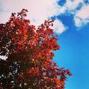 Tre med røde høstblader