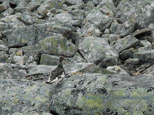 Skavneskollen06 (20)fjellrype kamuflert RED SNITT NAVN