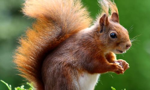 squirrel-animal-cute-rodents-47547