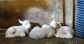 Lamb Foto Solgun Haugen