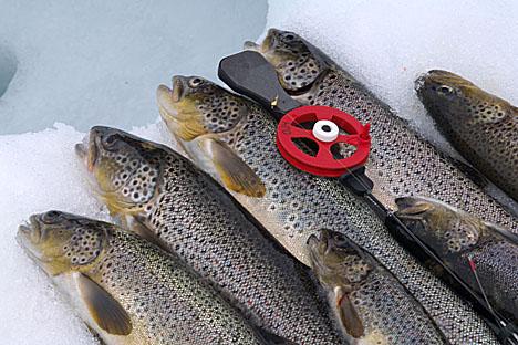 Fangst av �rret tatt under isfiske----Catch of trout from ice fishing