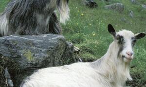 Aurland er kjend for produksjon av geitost. Foto:Bente Torgersen