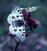 Apollosommerfugl