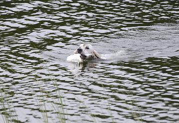 Irox svømmer i land med rypa