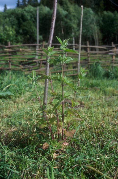 Legekattemynte (Nepeta cataria)