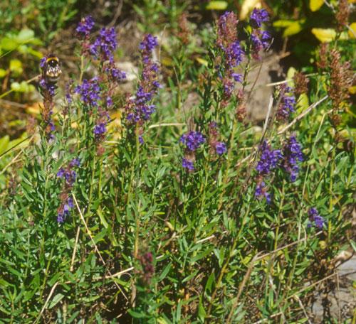 Isop (Hyssopus officinalis)