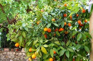 Appelsintrær VIP_320x211.jpg