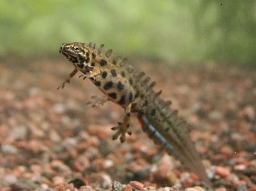 Liten salamander (Triturus vulgaris).