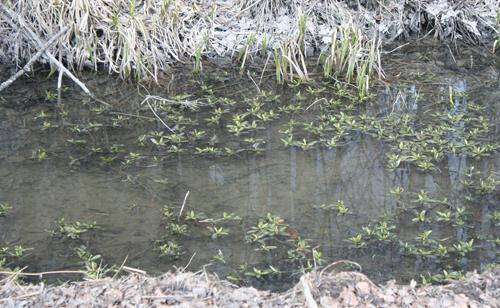 Bogstadvannet-bekk-frosk.jpg