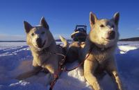 Dog Sledding, Husky safari - Arctic Adventure Tours