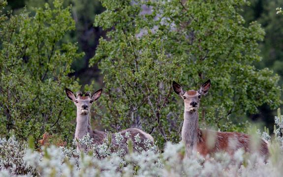 Hjort i skogen Foto: Golf