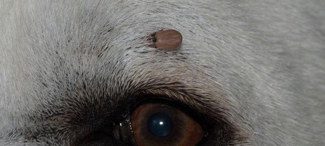 Biting tick above eye