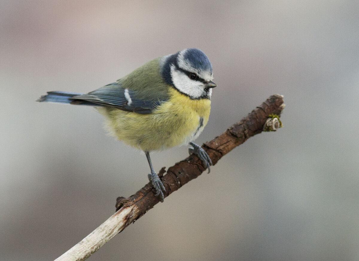 Blåmeisa er vår nest vanligste fugl ved foringsplassen. Foto: Frode Falkenberg/Norsk Ornitologisk Forening