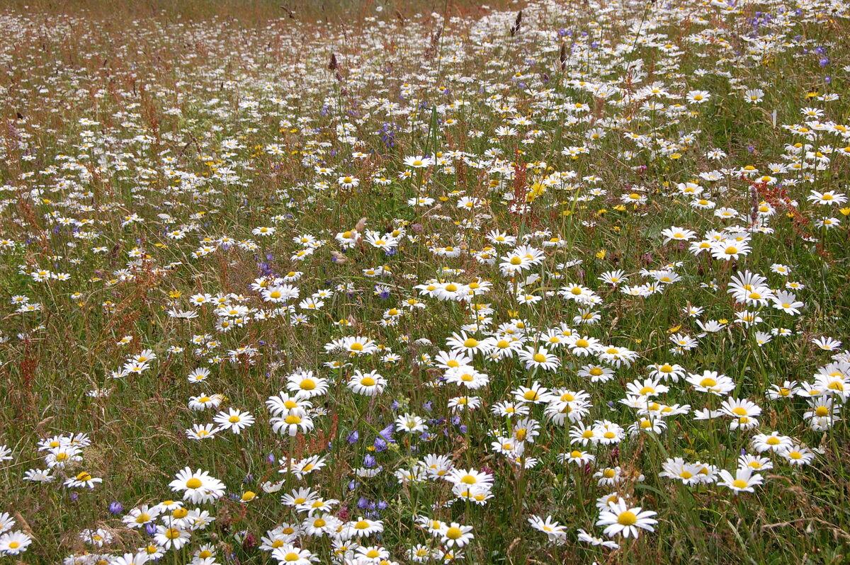 blomstereng foto Kristina Bjureke