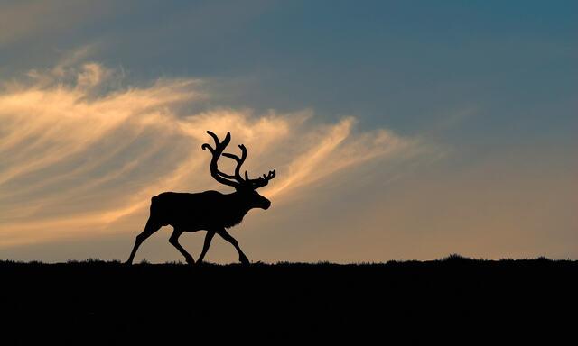 Villrein på Dovre - Bildet er tatt av Kjartan Trana NRK journalist og naturfotograf