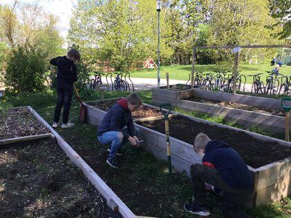 Elever som jobber i skolehagen på Brønnerud