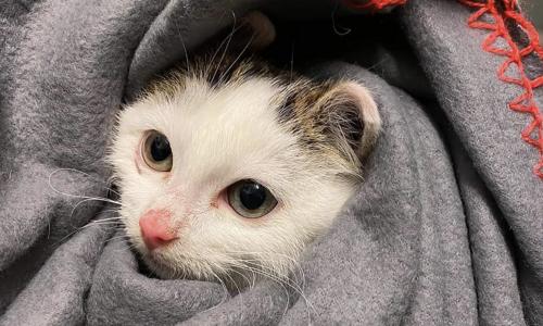 Denne kattungen ble reddet sammen med resten av kullet og moren sin i mars. Foto: Dyrebeskyttelsen Norge Sør-Trøndelag.