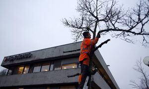 Beskjæring av parktrær i Rådhusparken