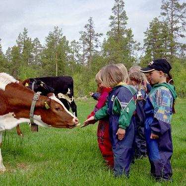 Barn hilser på kyr
