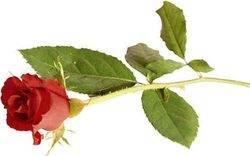 rose_250x156